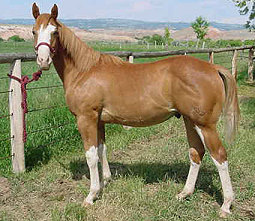 Red Roan Over Colt for Sale