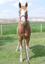 Red Roan Over Gelding for sale